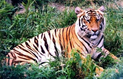 tiger (1187).jpg