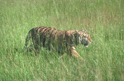 tiger (1188).jpg