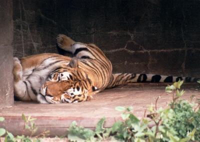 tiger (1199).jpg