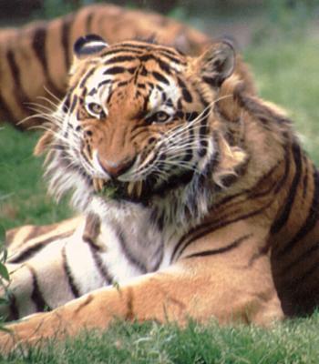 tiger (1190).jpg