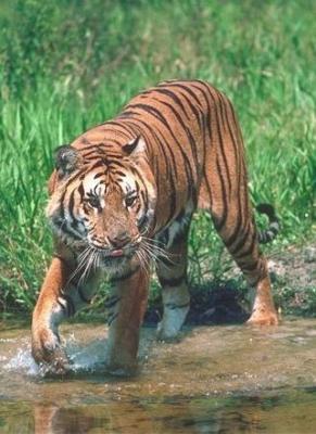 tiger (1192).jpg