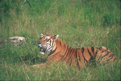 tiger (1194).jpg