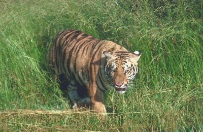 tiger (1195).jpg