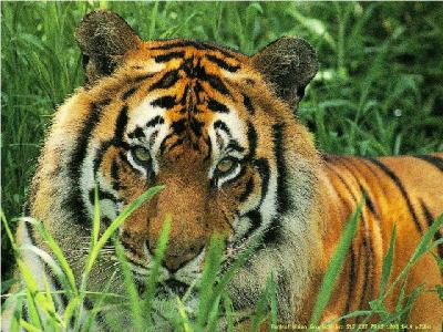 tiger (1196).jpg