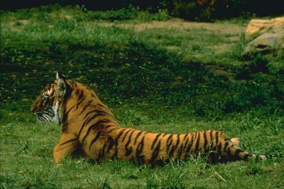 tiger (1197).jpg