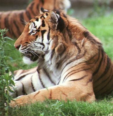 tiger (1198).jpg