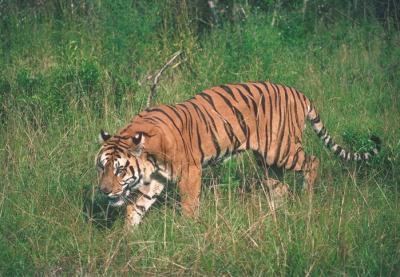 tiger (1200).jpg