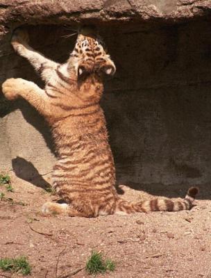 tiger (1202).jpg