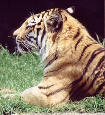 tiger (1203).jpg