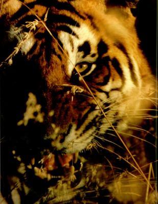 tiger (1205).jpg