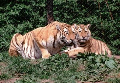 tiger (1206).jpg