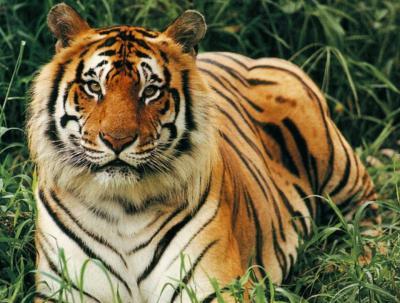 tiger (1207).jpg