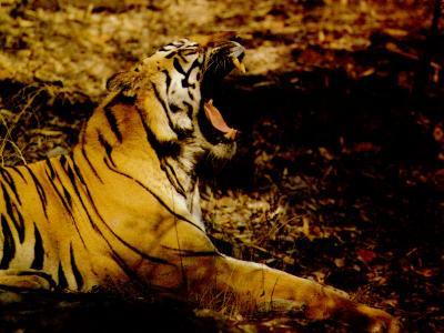 tiger (1208).jpg