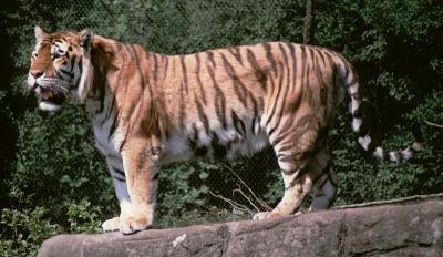 tiger (1210).jpg