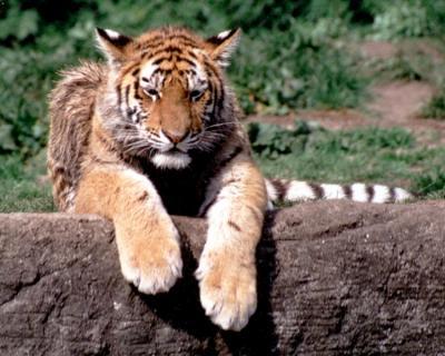 tiger (1212).jpg