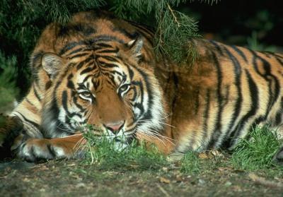 tiger (1219).jpg