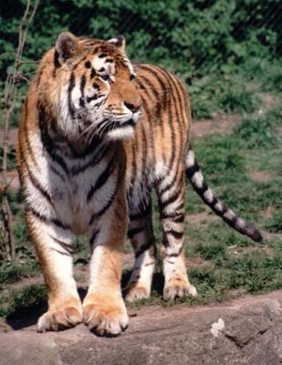 tiger (1220).jpg
