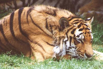 tiger (1222).jpg