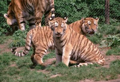 tiger (1223).jpg