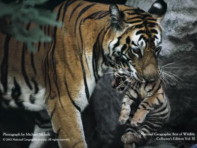 tiger (1224).jpg