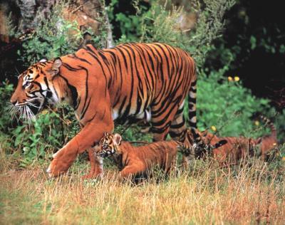 tiger (1225).jpg