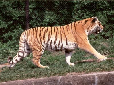 tiger (1226).jpg