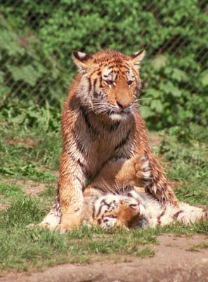 tiger (1232).jpg