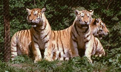 tiger (1234).jpg