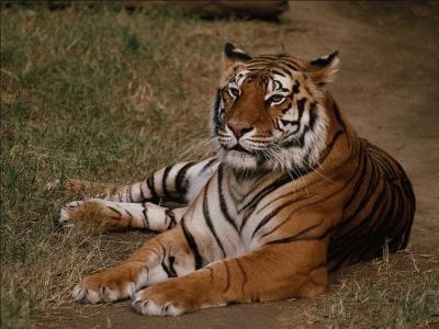 tiger (1238).jpg