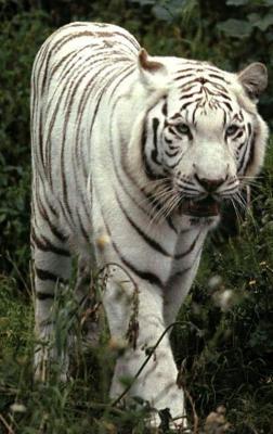 tiger (1241).jpg