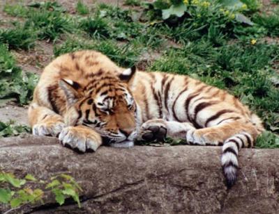 tiger (1243).jpg