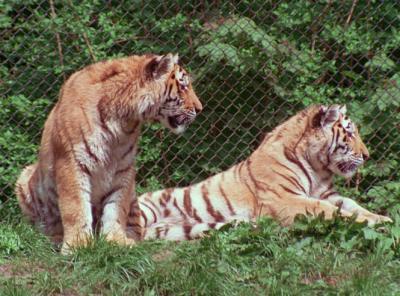 tiger (1245).jpg