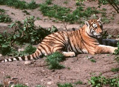 tiger (1246).jpg