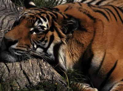 tiger (1247).jpg