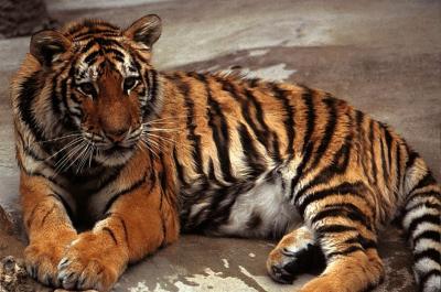 tiger (1248).jpg