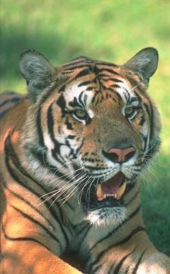 tiger (1249).jpg