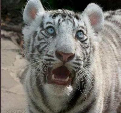 tiger (1269).jpg