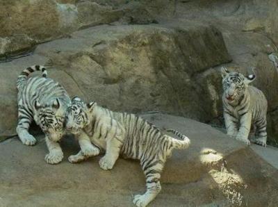 tiger (1261).jpg