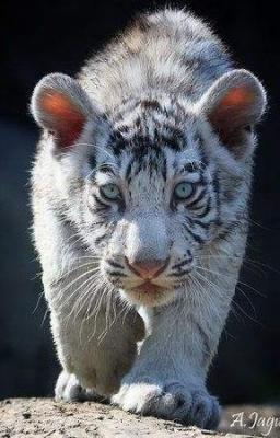 tiger (1263).jpg
