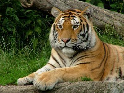 tiger (1264).jpg