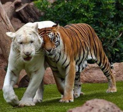 tiger (1266).jpg