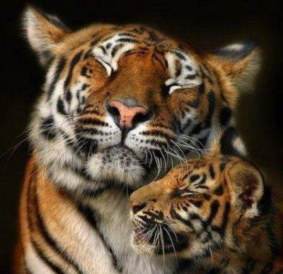 tiger (1267).jpg
