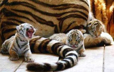 tiger (1274).jpg