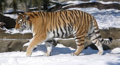 tiger (1271).jpg