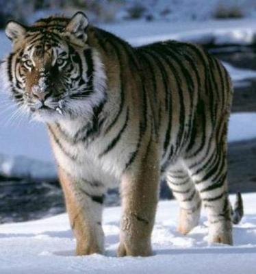 tiger (1272).jpg