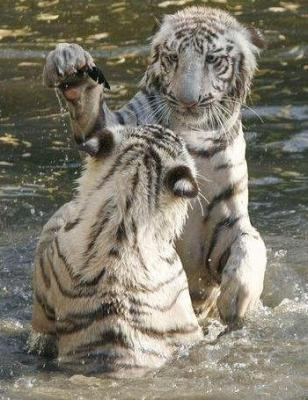 tiger (1273).jpg