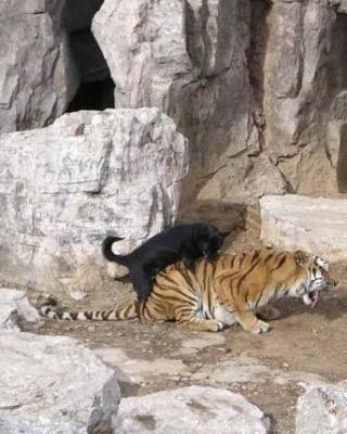 тигры разные (5).jpg