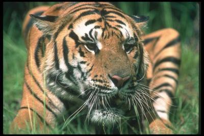 Тигр 2.jpg