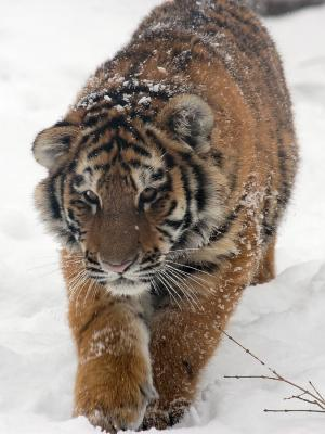 Amur_Tiger_Panthera_tigris_altaica_Cub_Walking_1500px.jpg