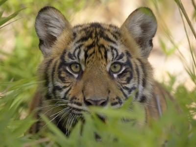 Sumatran Tiger Cub, Endangered Species, San Diego Wild Animal Park, California.jpg